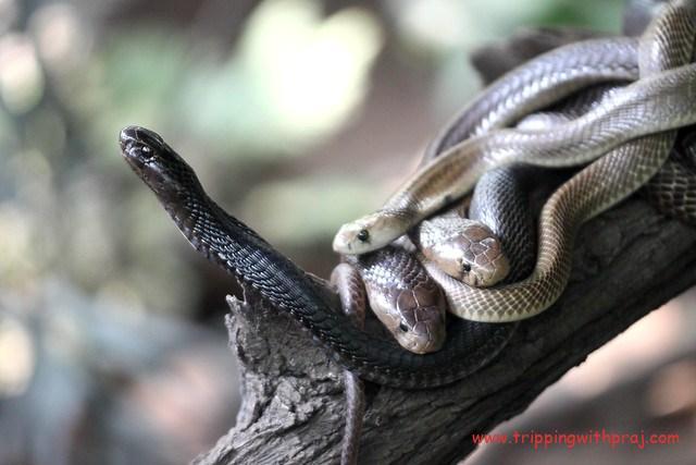 Snake Park inside Rajiv Gandhi Zoological Park