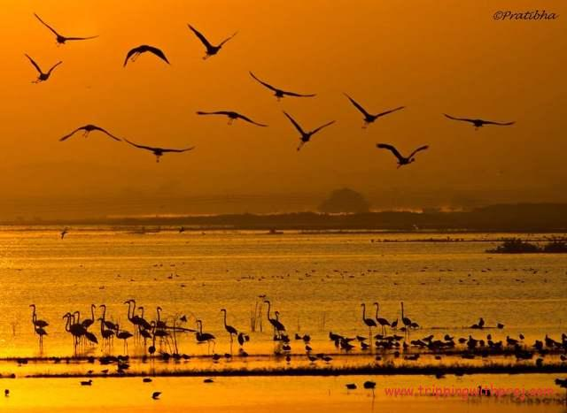 Flock of Flamingos take off from opposite shore