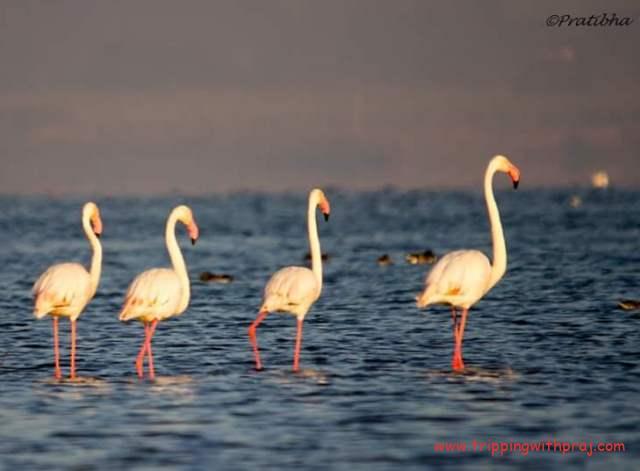 Bhigwan Bird watching - Guess Who's the tallest?