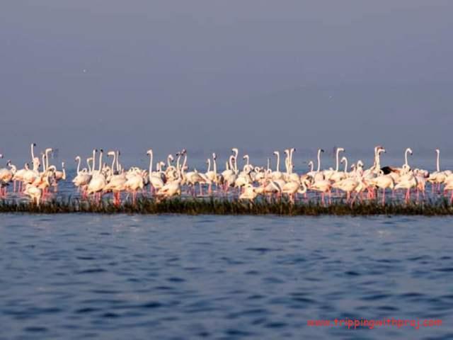 Huge flock of Flamingos