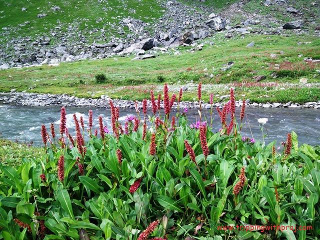 Hampta Pass Trek - Beautiful Flora along the river banks