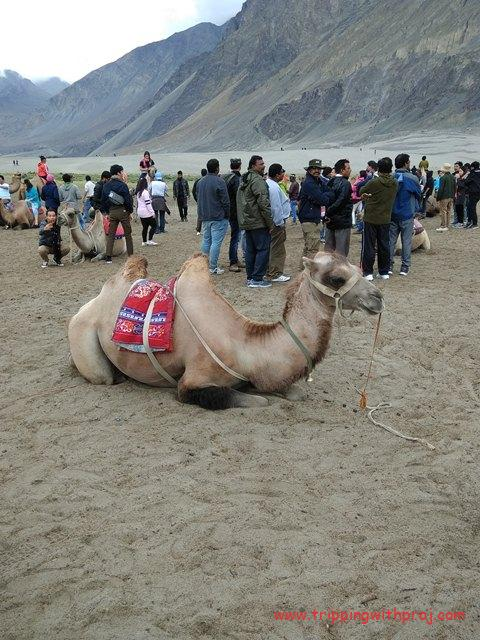 Double Hump Bacterial Camel at Nubra Valley
