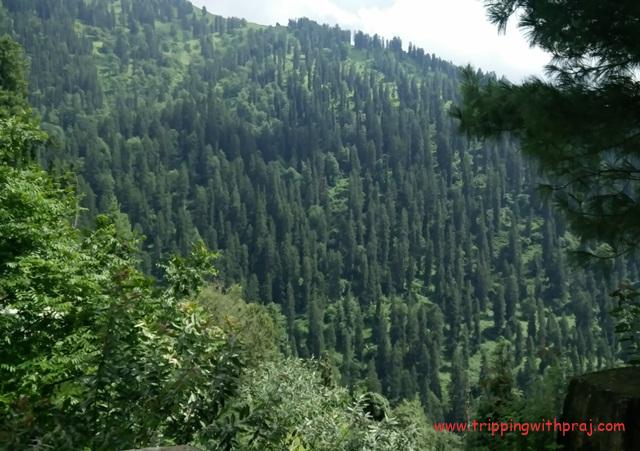 Mountains covered with Pine and Maple trees