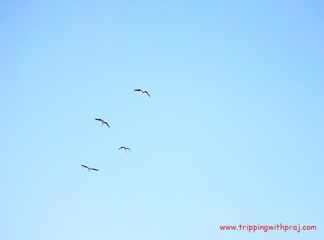 Flamingos Soaring high