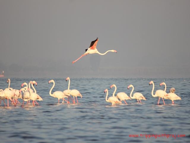 Flamingo Flight in Bhigwan