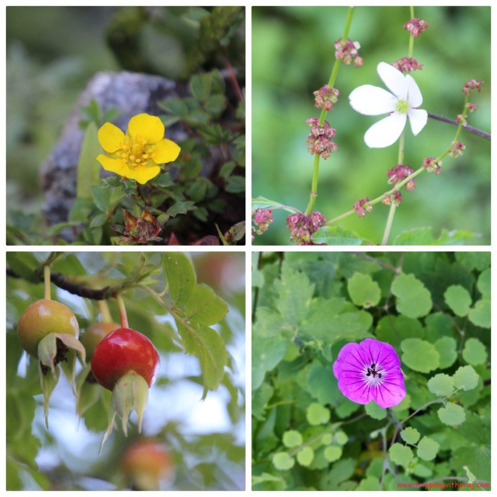 Valley of Flowers - Some of the other species that I came across