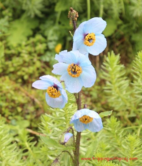 Valley of Flowers - And Here is the Showstopper - The Blue Poppy